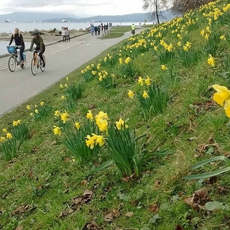 Two cyclists pass a hillside of daffodils on the seawall near English Bay, Vancouver.