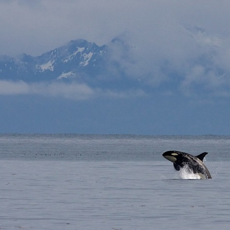 An orca (killer whale) with cloudy mountains in the background in Vancouver, BC.